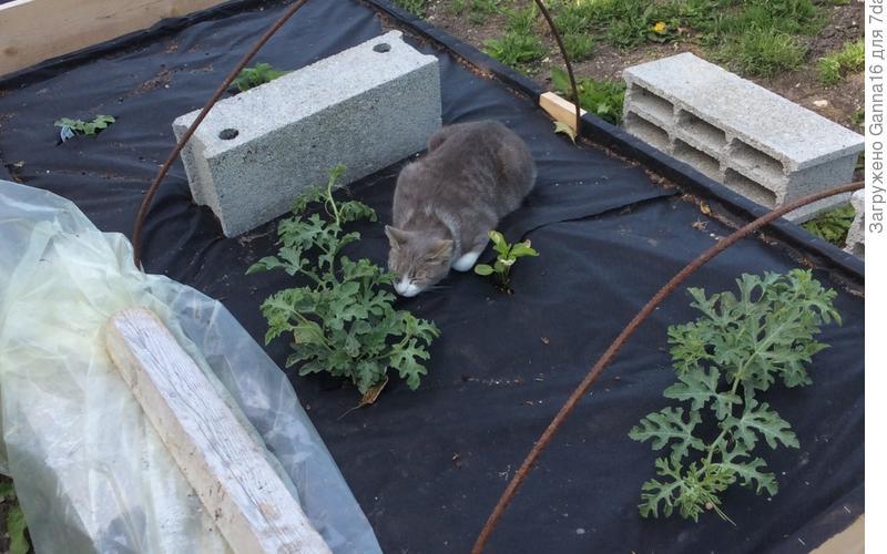 Кошка Писташ (что означает - фисташка) , нашла самое комфортное место в саду: на тёплой грядке, между подрастающими арбузами. Тепло, мягко и собака не беспокоит (огородик огорожен сеткой).