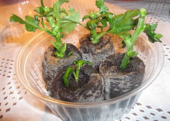 Размножение хризантем черенками