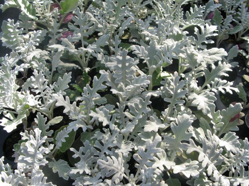 Посадка и выращивание цинерарии