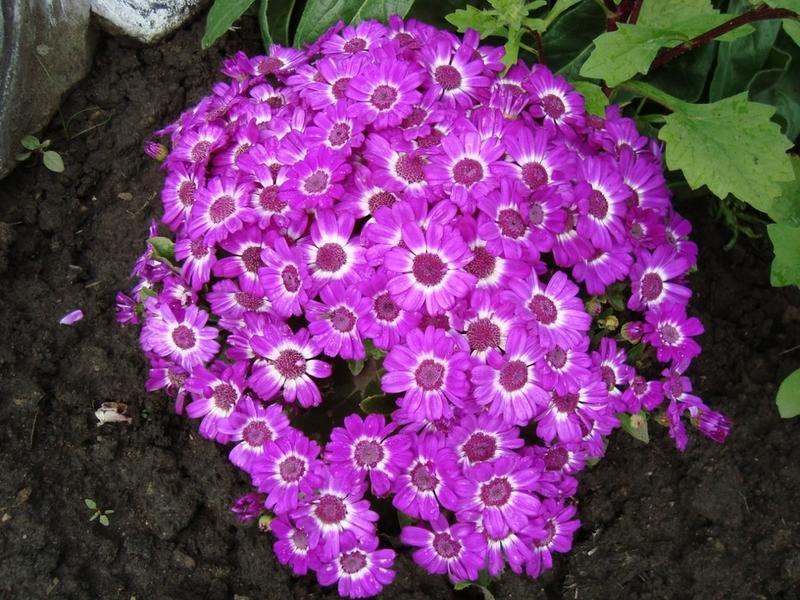 Крупными и яркими соцветиями