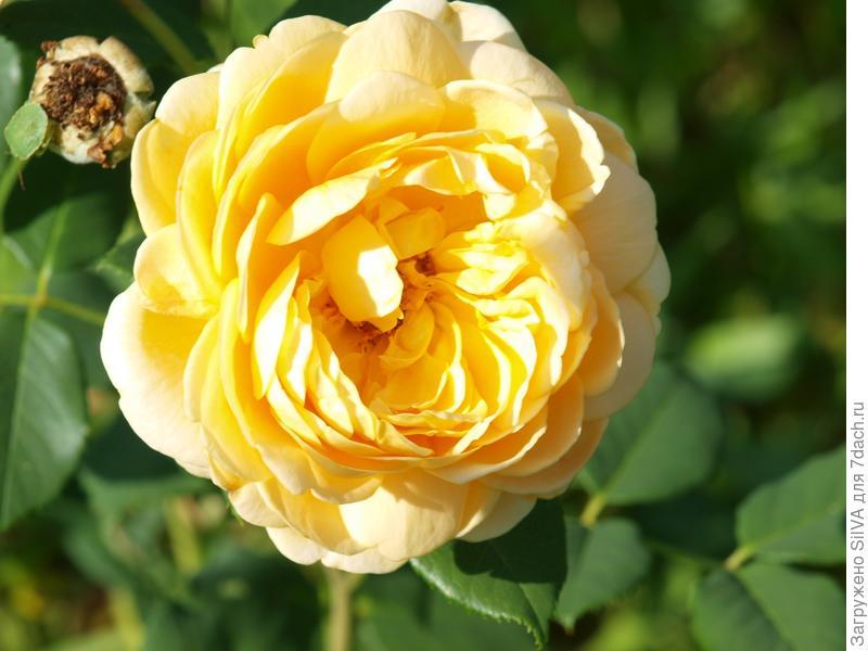 почти распустившаяся кустарниковая роза