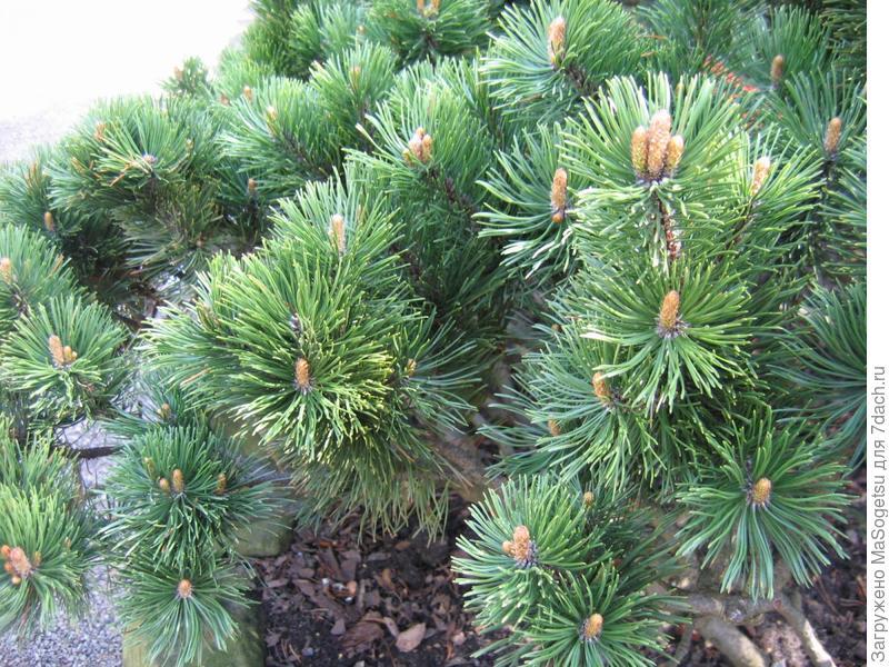 Pinus mugo (сосна горная)