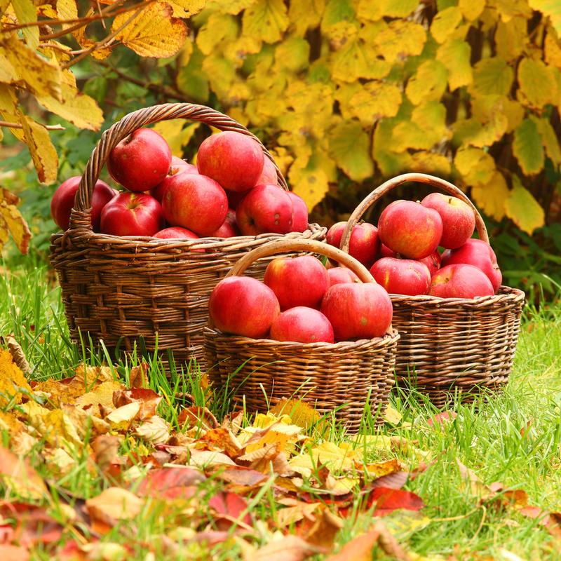 Яблоки хранят, отсортировав по размерам