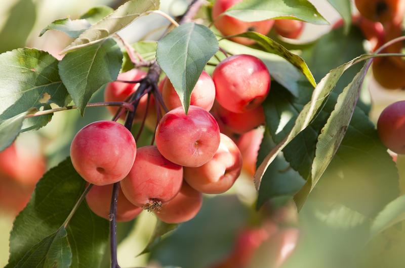Сохранить урожай яблок - наша главная задача