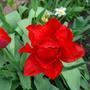Пионовидный тюльпан - ранее не открывшийся