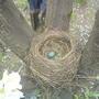 Гнездо дроздов на яблоне