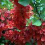 Айва цветет