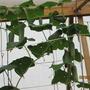 Вторая половина в теплице — под разные овощи: несколько кустов огурцов, Борис-стабильный, до заморозков.