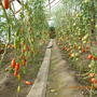 Каждый год около 30 сортов томатов сажаю, из них с десяток новых пробую. На фото: — слева Пётр Великий, — а справа — Евпатор, Ирэн и Империя. Все сорта на отлично.