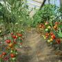 Половину теплицы занимают помидоры. Опробовал более сотни сортов, лучше сажать гибриды для теплиц: Увертюра, Рапсодия, Аристократ, Инстинкт Евпатор,……