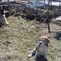 Выполнение своих обязанностей. Немецкая овчарка Жак охраняет грядки от бигеля Инги, которая постоянно раскапывает лук, морковь и картошку