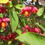 Удивительные плодики бруслины
