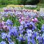 Выставка ирисов Никитского ботанического сада
