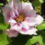 Роскошь цветения махровых клематисов