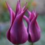 Совершенство его величества: 15 лучших лилиецветных тюльпанов