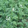 Помогите понять рекомендацию по выбору сортов картофеля