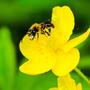 Дикая пчелка