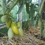 Томат Буян желтый-очень понравился сорт.Вкусный, быстро созрел.Урожайный