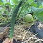 Огурец F1 Изумрудный поток- очень вкусный, урожайный.