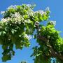 Катальпа - цветник на фоне неба