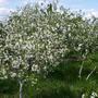 Цветет вишневый сад