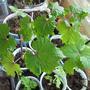 Виноградик подрастает