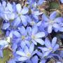 Небесно-голубые