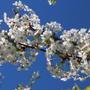 Веточка вишни