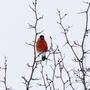 Красногрудый красавец