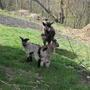 Коза и её детки