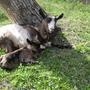 Коза с маленькой козочкой