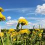 Целое поле солнышек