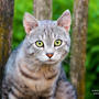 Король деревни, все котята в округе похожи на него ))
