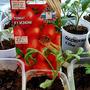Сладкие томаты любит вся семья, но Изюмчик сладкий сажаю для внучка…