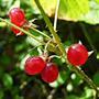 Лесные ягоды: костяника....