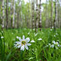 В лесу встречают нас весенние цветы...