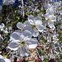 Вишня цветёт, с белоснежием споря...