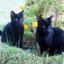 Если черный кот дорогу перейдёт... а тут сразу два...)