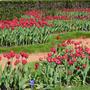 Тюльпаны... кругом тюльпаны... весенние цветы...
