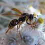 Работящая пчёлка...