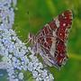 Ленточник Камилла - так называется эта бабочка...
