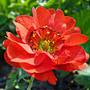 Один из любимых цветов - гравилат...