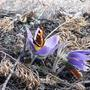 Первые бабочки на первых весенних цветах.