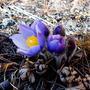 Загадочный цветок - подснежник, сон-трава