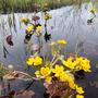Калужница - нарядный весенний первоцвет, удивительно радостный и солнечный цветок