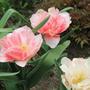Это тоже тюльпаны