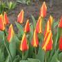 Пламя весны. Первые