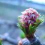 Лиственница весной