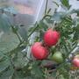 Помидоры из Золотой Малиновой серии — Малиновый богатырь. Растение до 170 см высотой, крепкое, красиво облиственное, урожайное, плоды почти квадратной формы темно-малинового цвета с плотной кожицей.