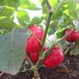 Перец сорта Гогошар. Толстостенные плоды ярко-красного цвета. Мясистый перец для фаршировки и заготовок.  Фирма «Берта» г. Самара.